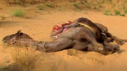 沙漠里看到了死骆驼,要远离千万不能碰,否则下场会让你绝望