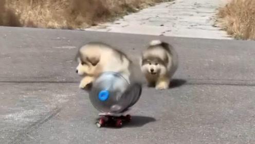 胖狗子滑滑板,不小心跌倒在地成了一坨球,网友表示真的太萌了