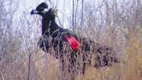 1.5米巨鸟现身河南:活吞大狗不怕人,有无数乌鸦麻雀随行