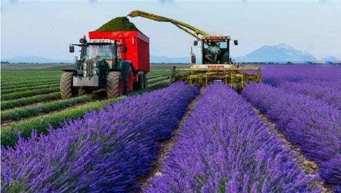 美丽的薰衣草农场,感觉心灵得到了净化,仿佛是生活在童话的世界