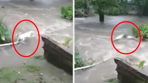 生死瞬间!小狗落水被急流卷跑 主人毫不犹豫纵身跳河拼命救援