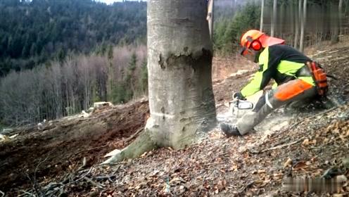 看看美国工人是如何砍大树的,这方法太聪明了,非常值得学习!