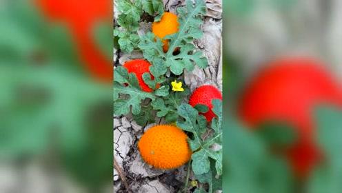 有人认识这种水果吗?
