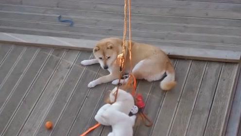 趣味萌宠:可爱狗狗在木楼玩耍