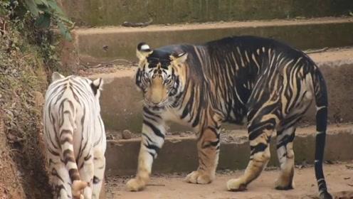 """全球唯一一只""""黑色老虎"""",网友:这是刚挖完煤回来吗?"""