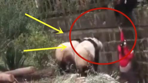 水管意外打到熊猫,没想到熊猫这么较真,下一秒忍住别笑!