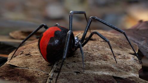 老外用喷火器对着毒蜘蛛猛喷,看过实验感觉还是国内安全!