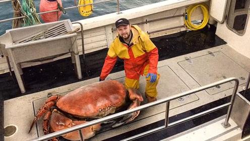海洋里最大的螃蟹,堪称蟹中皇帝,体重达72斤一只至少2000元!