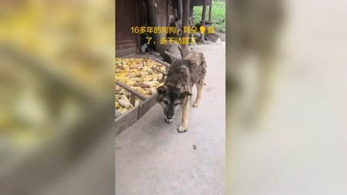 老狗相当于人类100岁左右的年龄,希望它能安享晚年