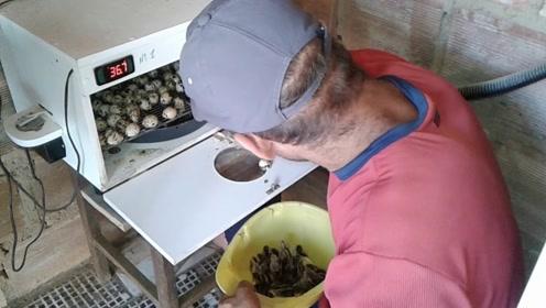 老外用恒温箱孵小鸡,多长时间能孵出来?网友:丰收的喜悦