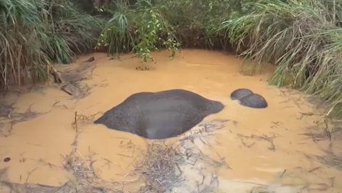 村民发现泥潭里有异动,直到它伸出了鼻子,才发现原来是它!