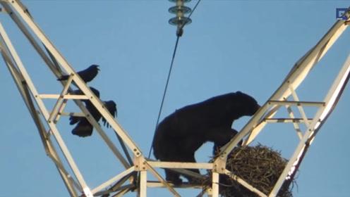 黑熊爬上电线塔偷吃鸟蛋,两只乌鸦束手无策,结局太悲催