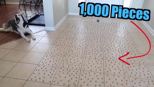 主人将1000颗狗粮摆在地上,二哈展示了啥叫推土机,太可爱了