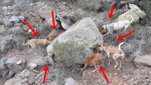 主人带6只狗去打猎,路过一块大石头,所有狗突然狂吠不止