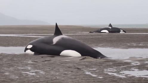 虎鲸搁浅在沙滩上,知道自己已经无法得救,竟流出了眼泪
