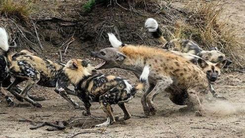 """四五只鬣狗被平头哥""""掏肛"""",画面辣眼睛,蜜獾:就你会""""掏肛"""""""