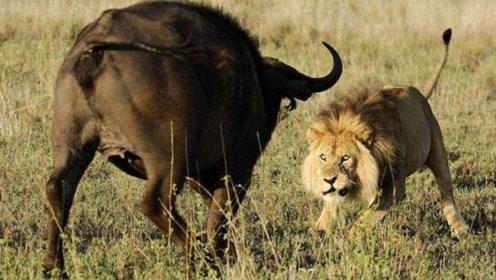 这是我见过最精彩的狮牛大战,场面惊心动魄,难得一见!