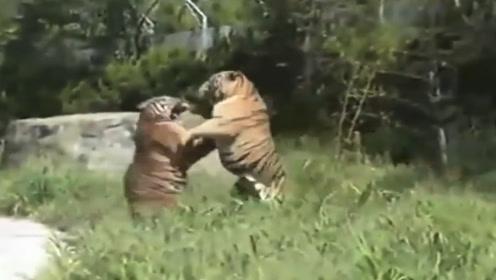 东北虎:你瞅啥?孟加拉虎:瞅你咋滴!