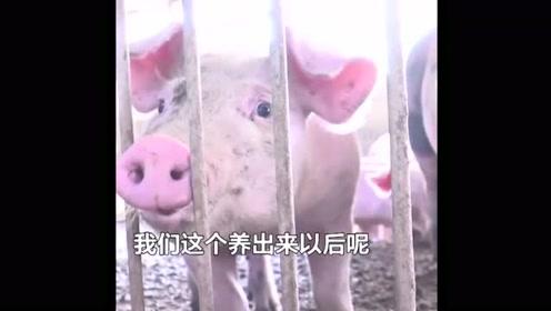 手机APP真实养猪,养自己的猪吃自己养的猪