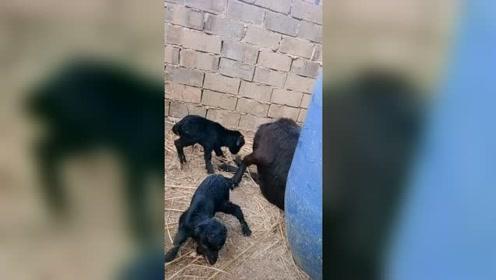 万物皆有灵性,羊妈妈和刚出生小羊的一幕,被虐哭了!