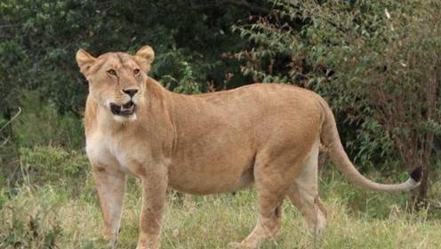 流浪母狮作死偷袭这个庞然大物,结果被人家打得下巴都烂了,估计命不久矣!