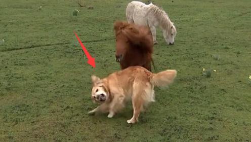"""都说二哈是""""狗界极品"""",碰到这只金毛后,你就会刮目相看"""