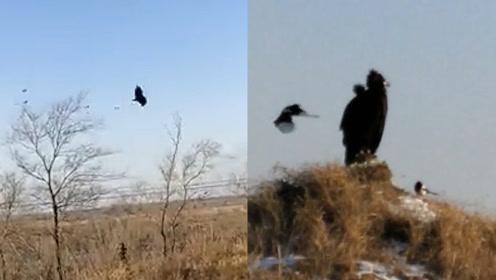 复仇小能手!男子拍下喜鹊追击大雕视频,近百只喜鹊从南追到北