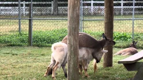 袋鼠骑在山羊身上,怎么撵都撵不下来,画面简直要笑岔气