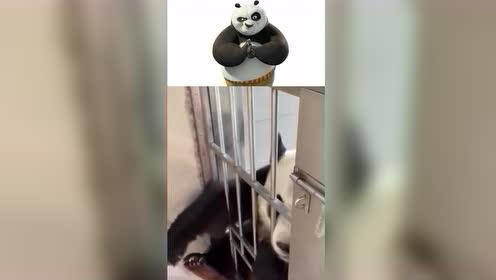 见过撸狗撸猫的,还真没见过撸国宝熊猫的,眼前一幕心都化了