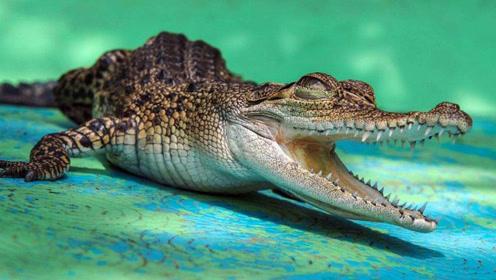 水中霸主鳄鱼,遇到了它,5分钟不到,就被送上西天!