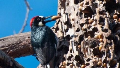 啄木鸟根本不是好鸟?这么多年,原来我们一直都被骗了!