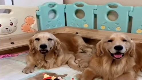 狗狗帮自己媳妇拿生日蛋糕,懂事的样子真可爱,一对幸福的汪星人!