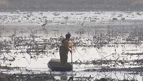 千亩藕塘引来上万只天鹅,啃烂70万斤藕