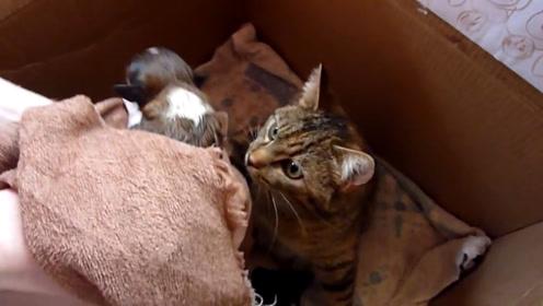 主人帮小猫洗澡,还给猫妈的时候差点被吓到,猫妈太爱自己孩子了