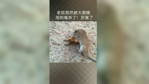 大马蜂把老鼠打败了,厉害!