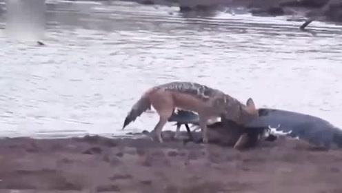 豺狼成年之后首次猎杀大鸟,成功之后嘚瑟的摇着尾巴,好像在炫耀一样!