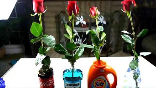 小伙把玫瑰花插入4种不同液体,哪个会保持的更久?结果让人想不到!