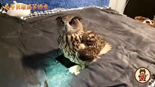 猫头鹰一屁股坐在手机上,疑惑地看着主人:为啥孵不出来
