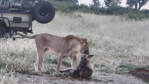 狮子将野狗锁喉,看上去野狗已经凉透了,下一秒,却画风大变
