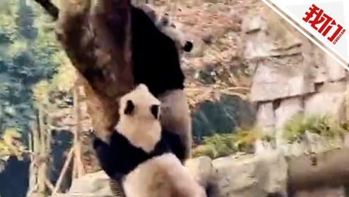 """四川绵阳地震熊猫丢下竹子上演""""五秒上树"""" 网友:求生欲太强"""