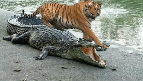 鳄鱼先生正在午睡,不巧被母老虎撞见,老虎:掀了你的天灵盖!