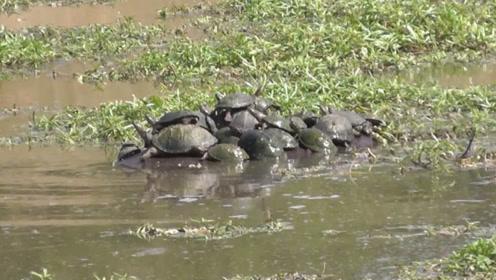女子发现河里一群乌龟晒太阳,掏出手机拍照,看清之后却后悔了