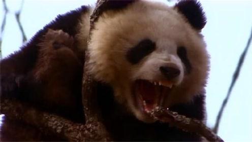 为什么老虎狮子,这些猛兽不敢吃熊猫?说出它的外号就知道了