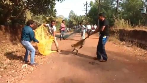 印度猴子泛滥成灾,印度发大招,抓一只奖励500元!