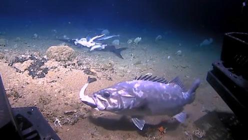 深海奇观!小鲨鱼群只顾猛吃剑鱼残骸,突遭大鱼埋伏一口生吞!