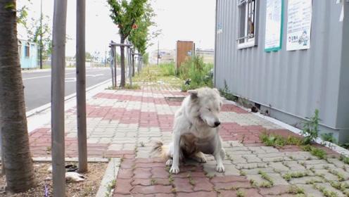 狗狗腿上长了一颗肿瘤,但仍旧拖着疲惫的身子,每天等待某人回来