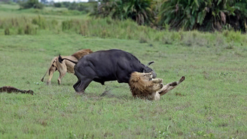 """狮子正在睡大觉,下一秒突然""""飞上天"""",狮子:招谁惹谁了!"""