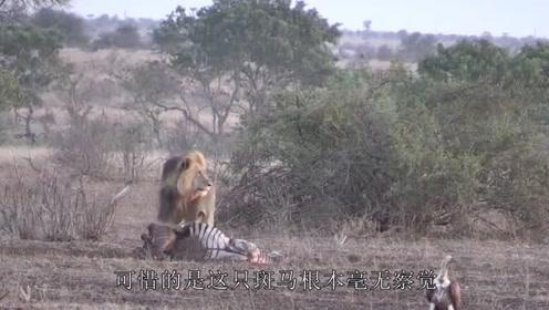 落单斑马被雄狮盯上,斑马不敌狮子攻击,下场太惨烈