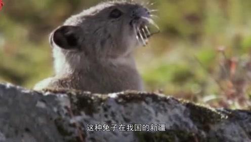 这种兔子专吃名贵药材,现已濒临灭绝,网友:比大熊猫还珍贵