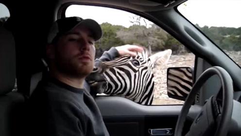 自驾游去野生动物园,真的没有危险吗?老虎:别太嚣张